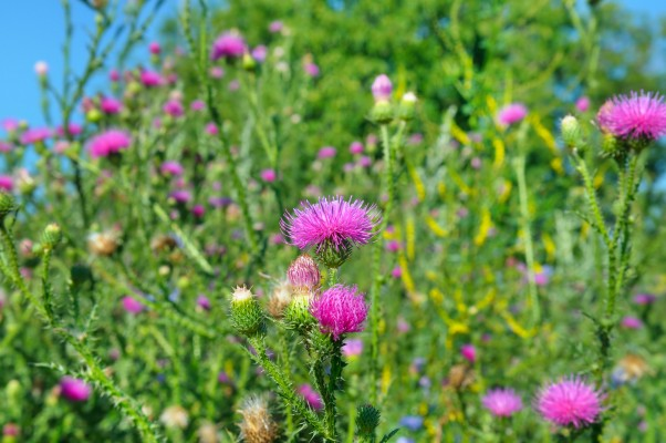 Pink milk thistle flower in bloom in summer morning. Medical plants.